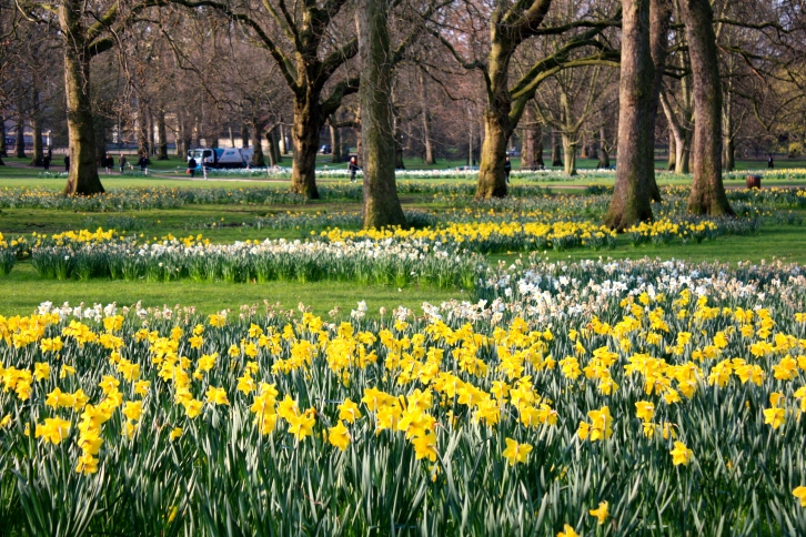 Daffodils, Green Park, London, March 2015