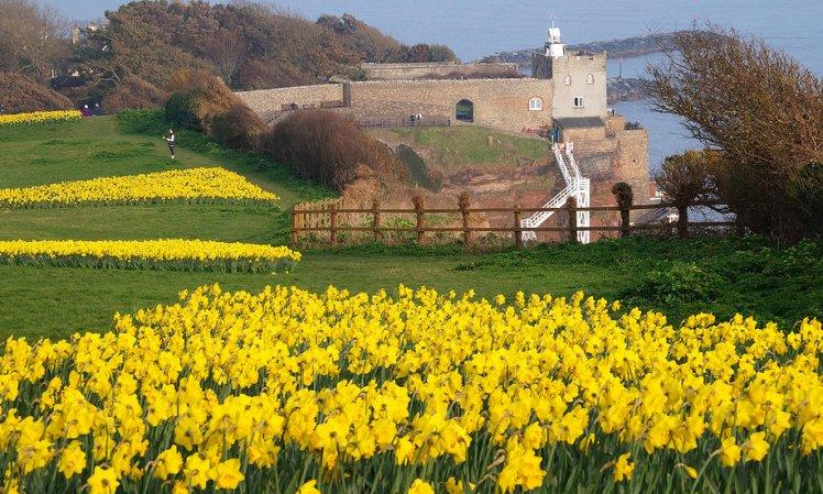 Sidmouth daffodils