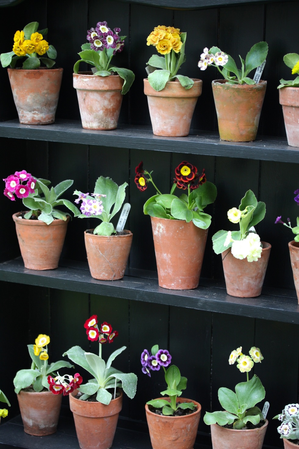 Auriculas - easier to look at than to grow