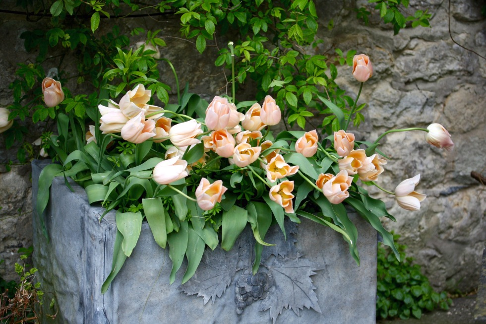 Lead planter with pale peach tulips - an elegant combination