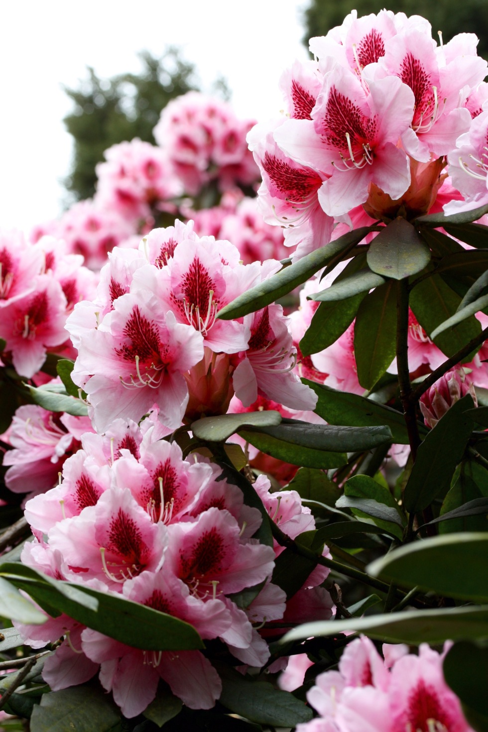 Rhododendron, The American Garden, May 2015