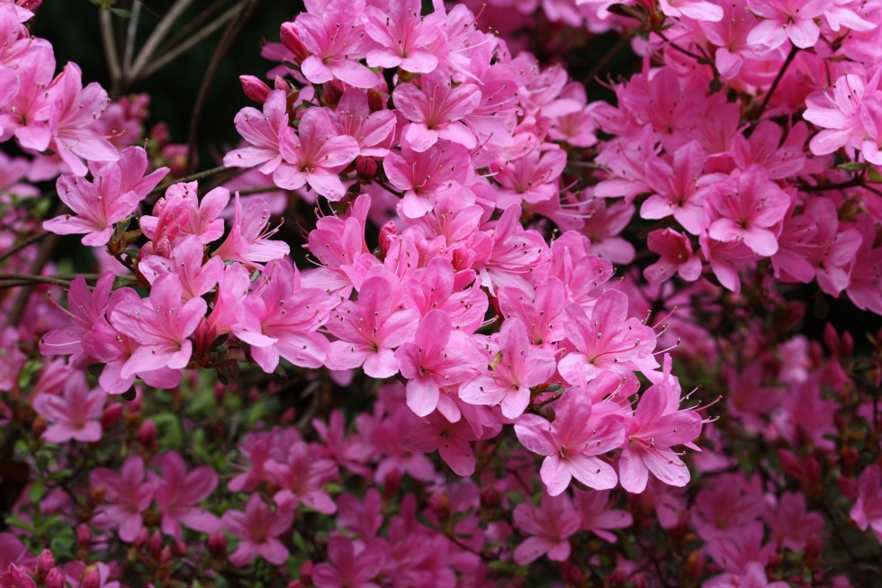 Kurume azalea, The American Garden, May 2015