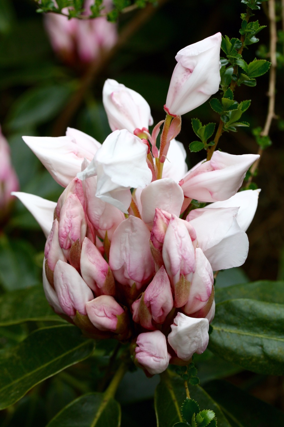 Rhododendron buds, The American Garden, May 2015