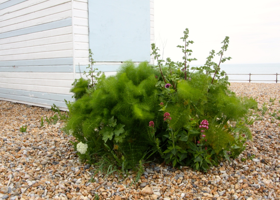 Fennel and shingle, Kingsdown, Kent, May 2015