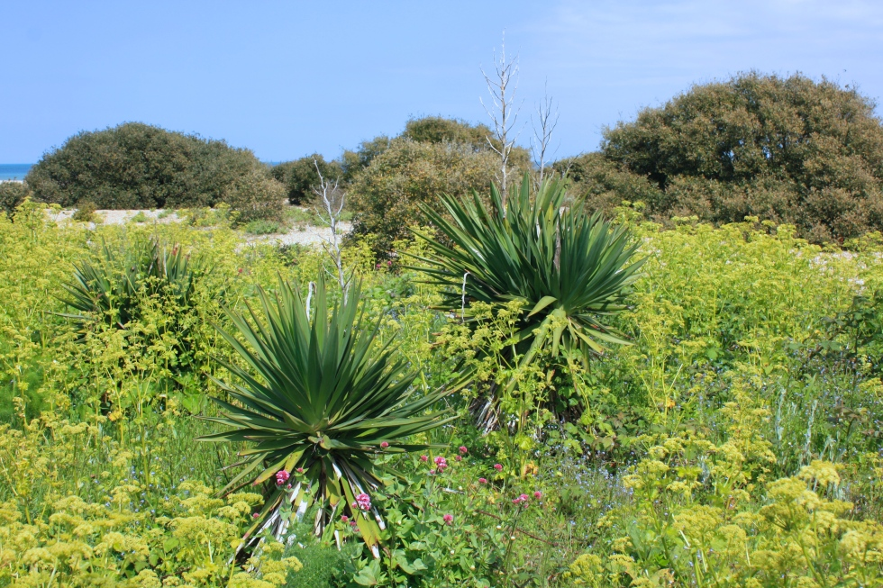 Yuccas, Kingsdown, Kent, May 2015