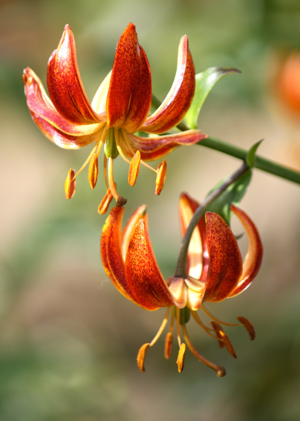 Turks cap lilies in all shades of orange populated shady parts of the garden
