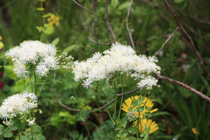 White thalictrum