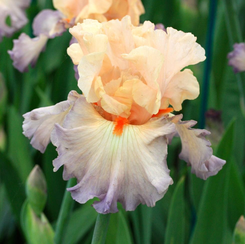 Iris 'Parisian Dawn'