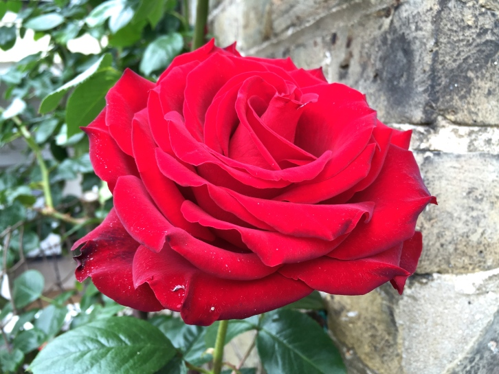 Red rose, Pollenate Cottage, June 2015