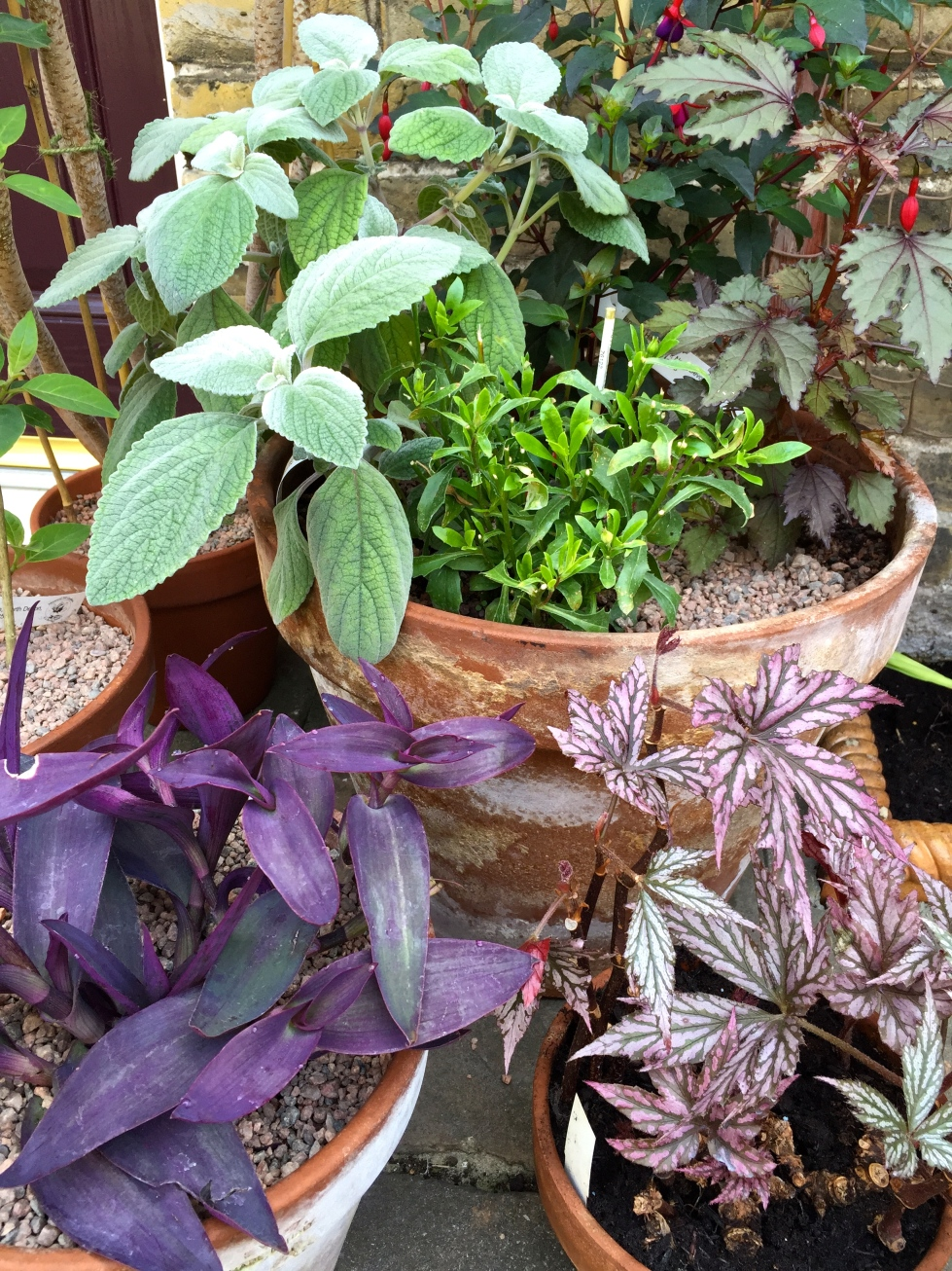 Begonia, hibiscus, tradescantia and plectranthus, Polegate Cottage, June 2015