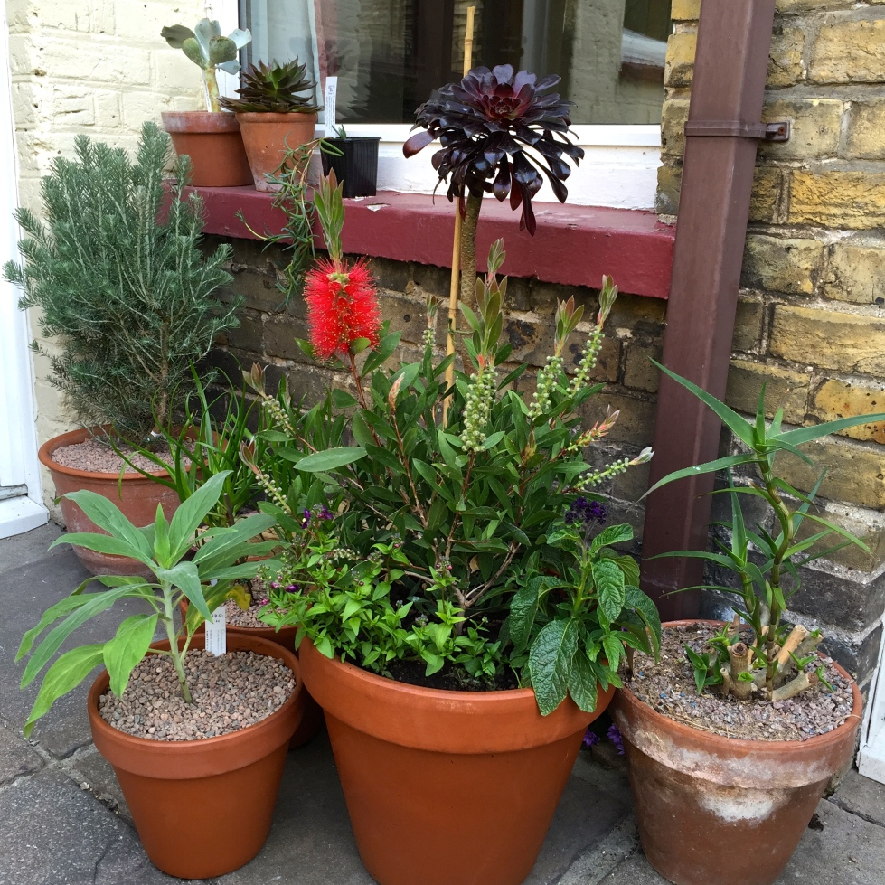 Callistemon, aloe and aeoniums, June 2015