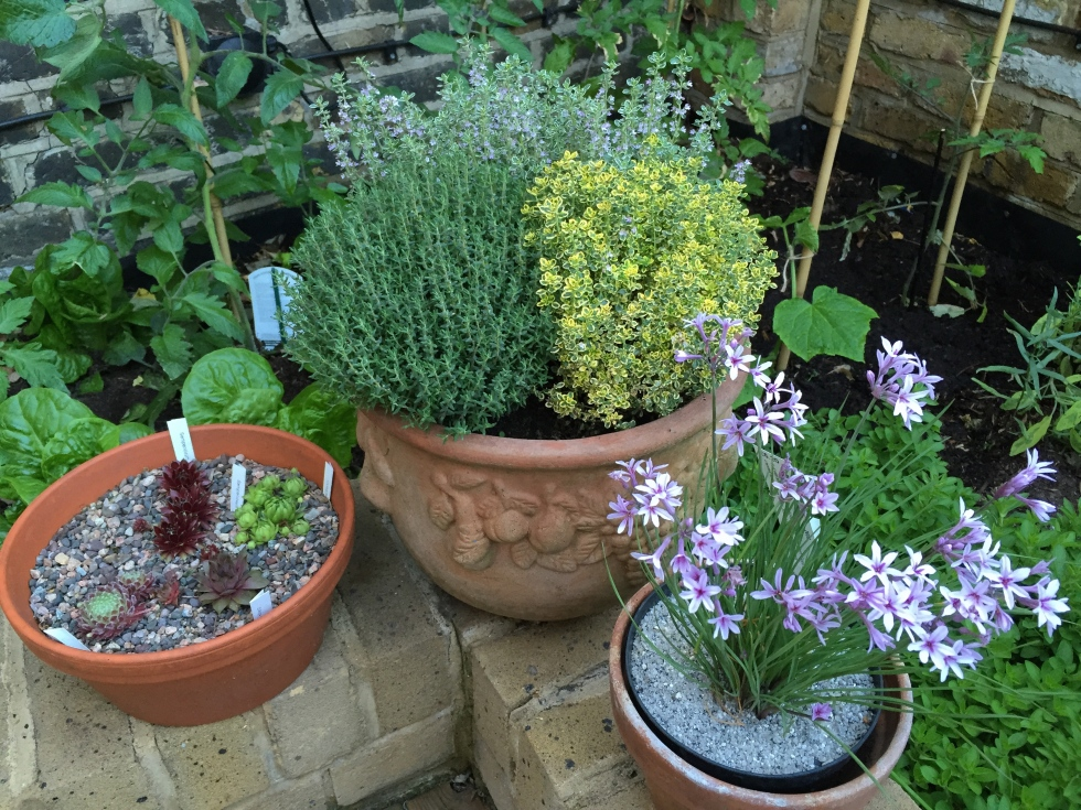 Thyme and Tulbaghia, London, June 2015