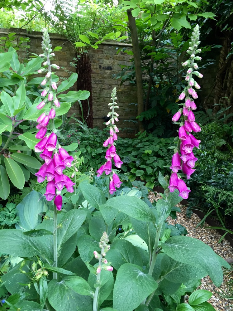 These foxgloves should have been white, but turned out pink