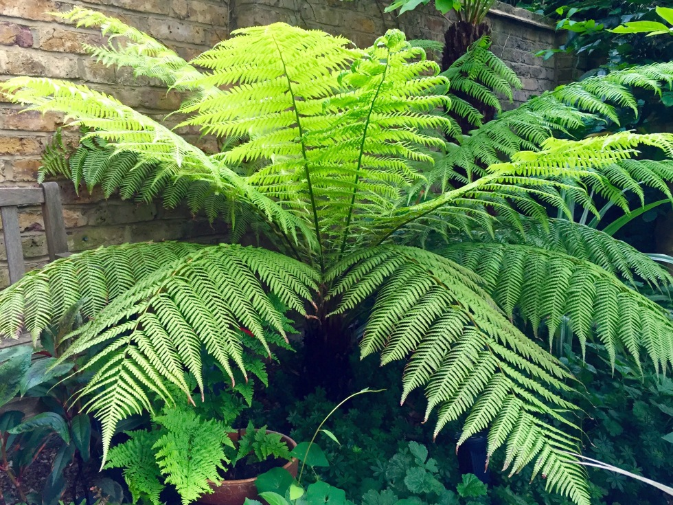 Dicksonia antartica, tree fern, Our London Garden,  June 2015
