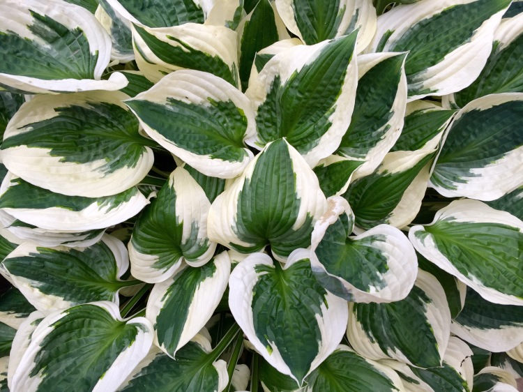Hosta 'Patriot', Our London Garden, June 2015