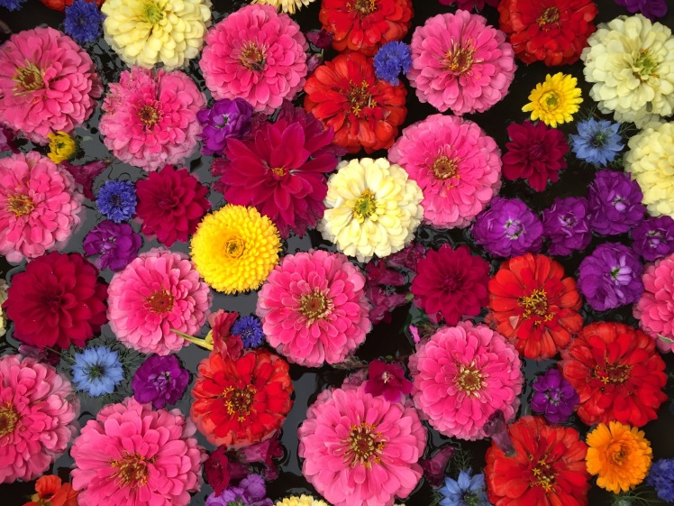 Zinnias and cornflowers, Petersham Nurseries, Grow London, June 2015