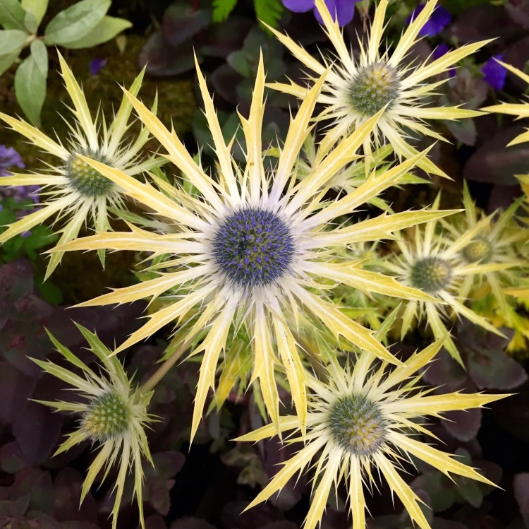 Eryngium 'Neptune's Gold', Grow London, June 2015