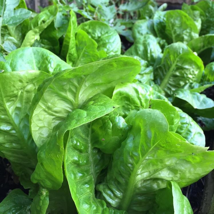 Little Gem lettuce, London, June 2015