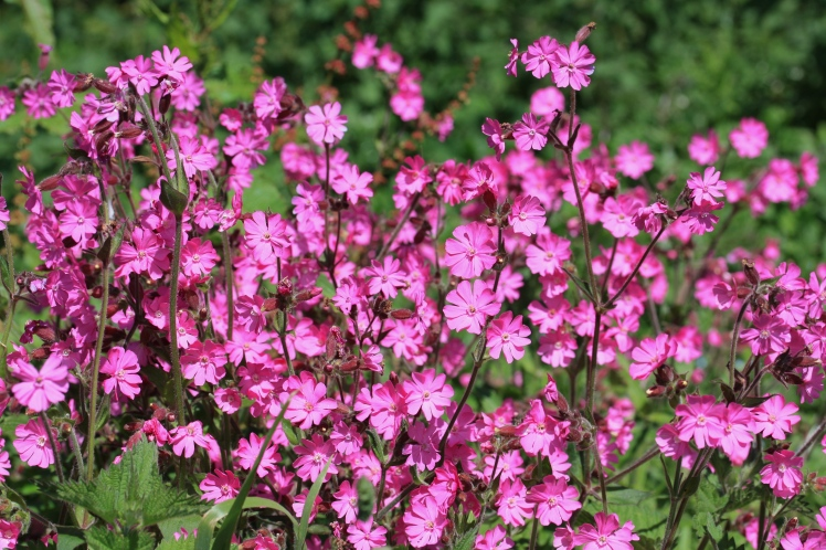 Red campion, Silene dioica, St Agnes, June 2015