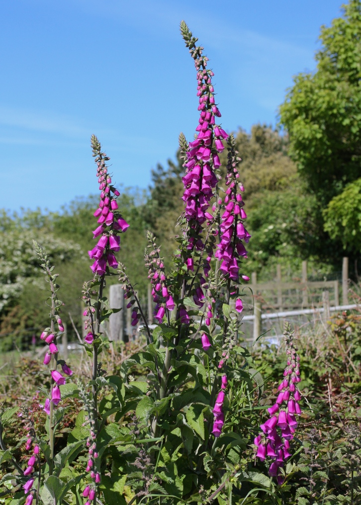 Digitalis purpurea, common foxglove, St Agnes, June 2015