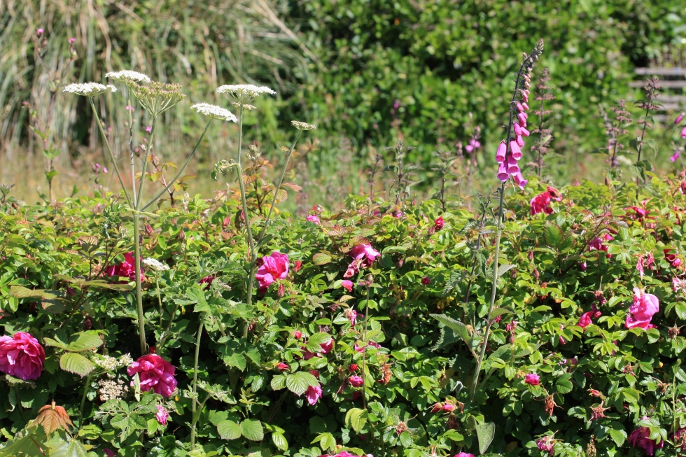 Hogweed, Rosa rugosa, foxgloves. St Agnes, June 2015
