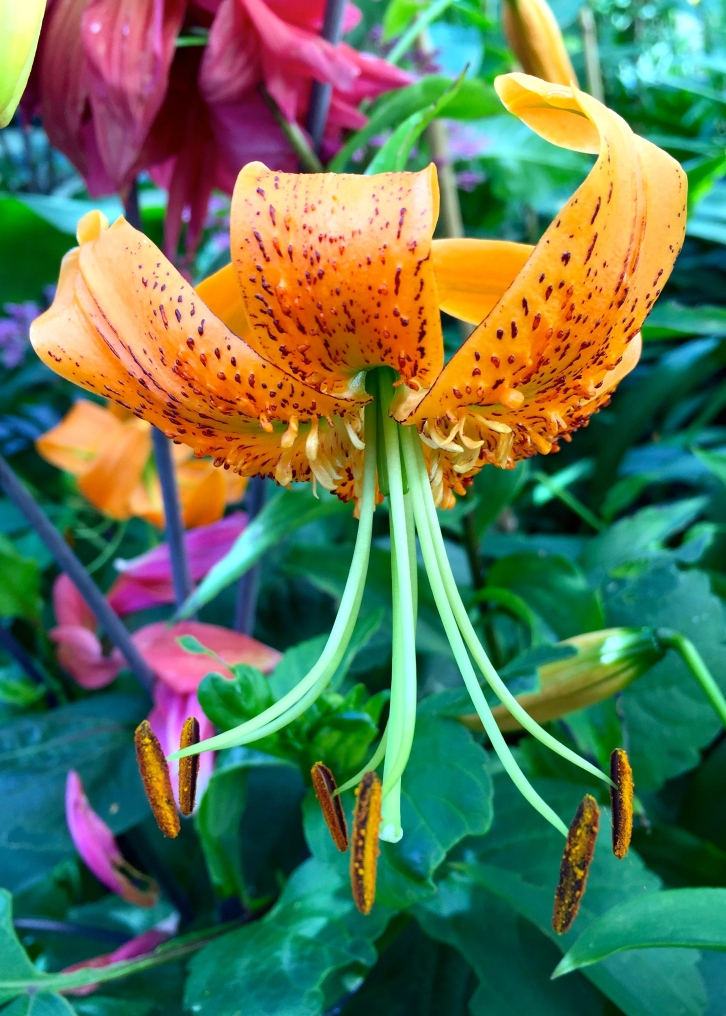 Unknown lily, The Watch House, July 2015