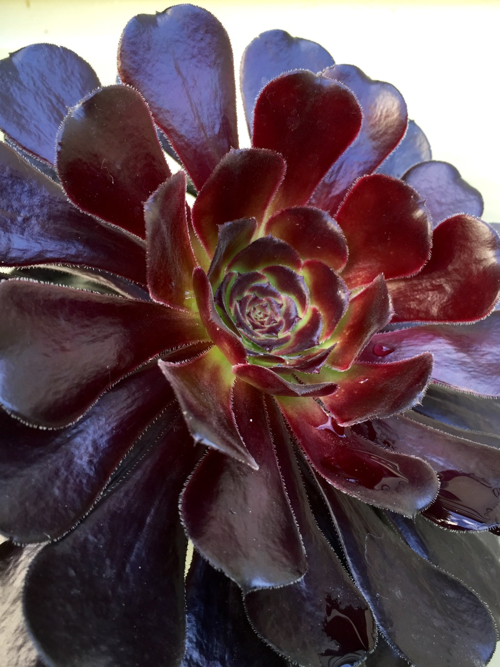Aeonium 'Zwartkop', The Watch House garden, July 2015