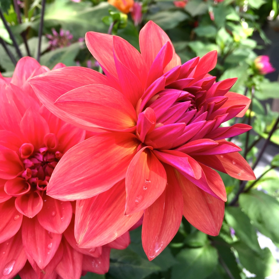 Dahlia 'Amercian Dawn', The Watch House garden, July 2015