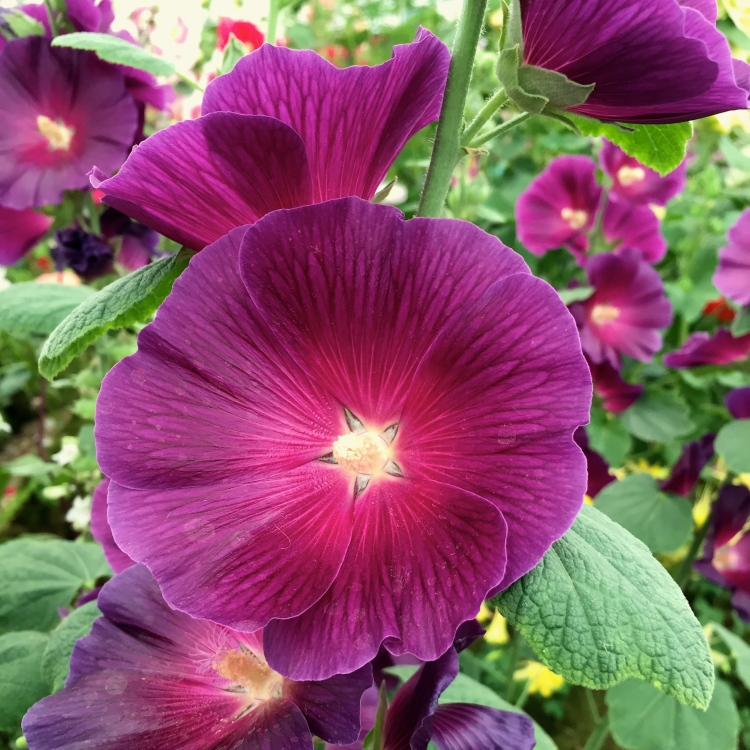 Hollyhock 'Halo Lavender', Hampton Court Flower Show, July 2015