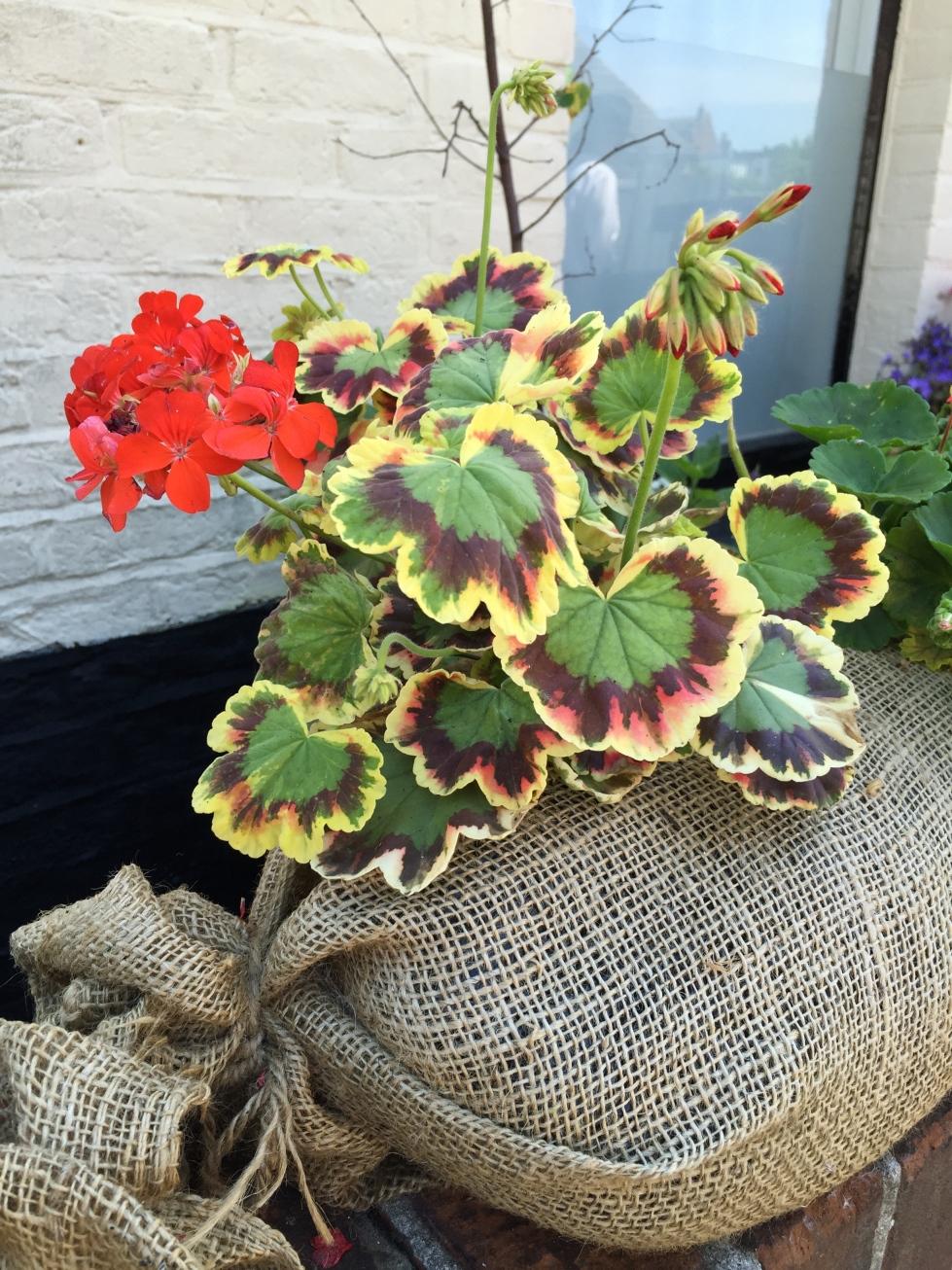 Geranium in hessian sack, Whitstable, July 2015