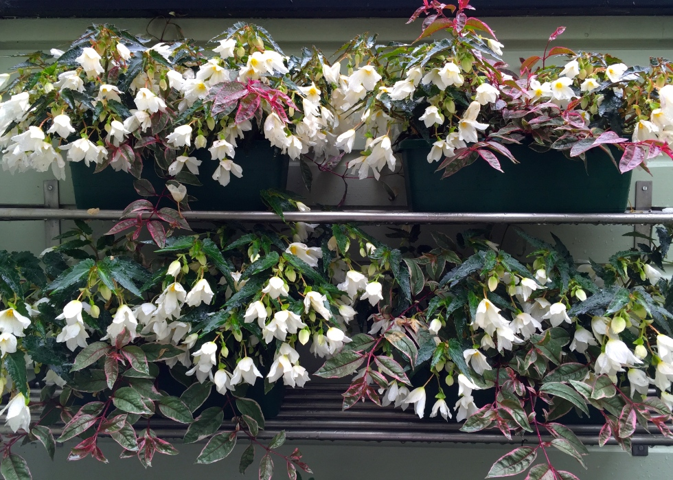 This year I've chosen trailing white begonias and Fuchsia 'Tom West' to adorn the outdoor kitchen shelves