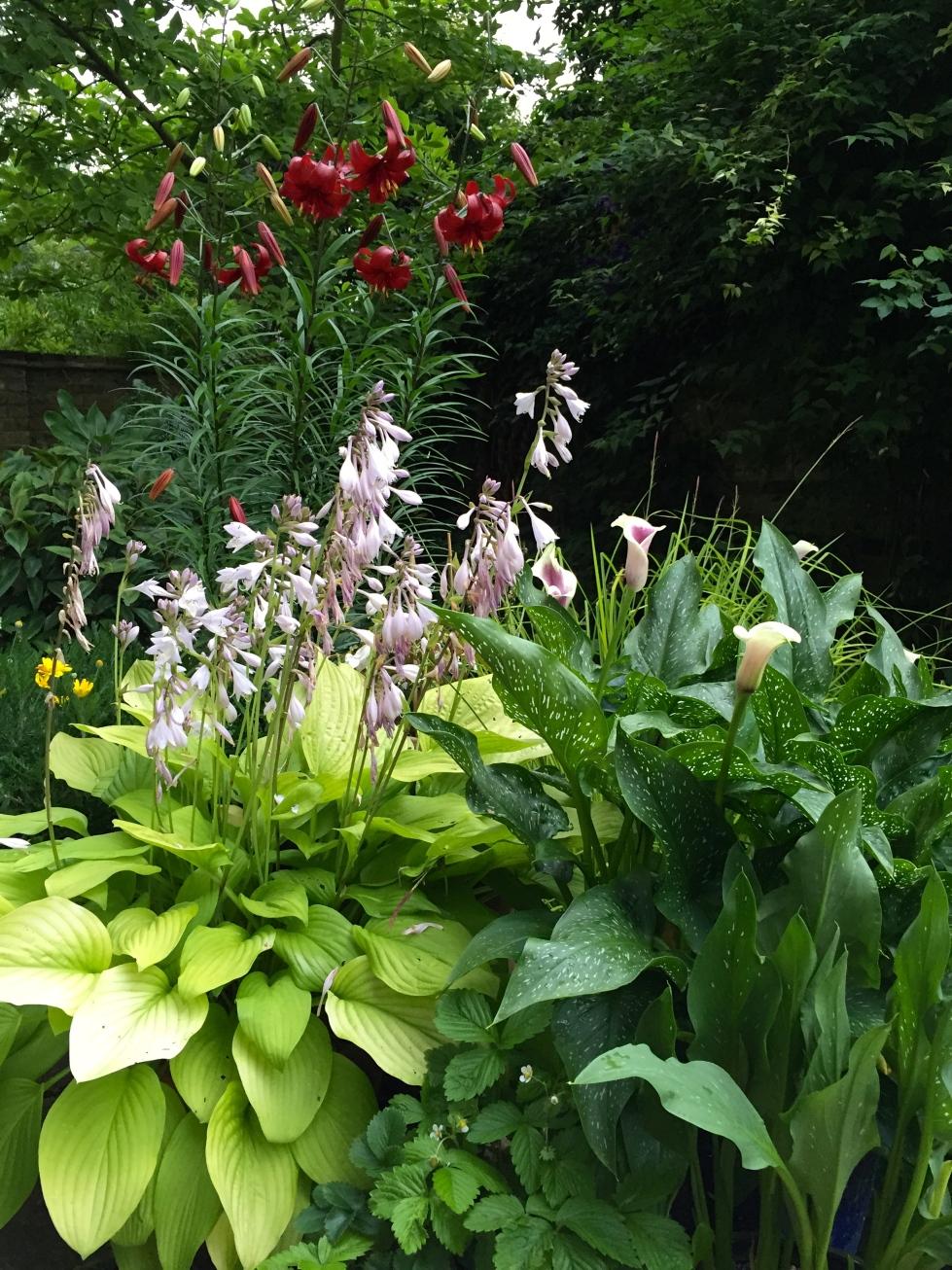 Hostas, zantedeschias and lilies enjoying the gentle rain