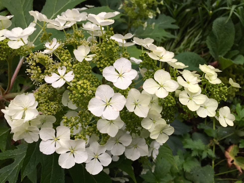 Hydrangea quercifolia is flowering for the first time