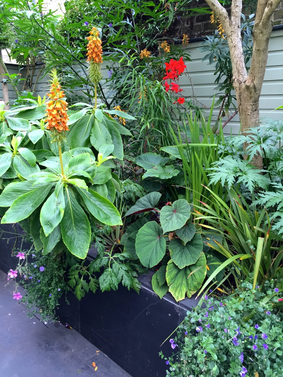 Digitalis sceptrum and Crocosmia 'Hellfire'
