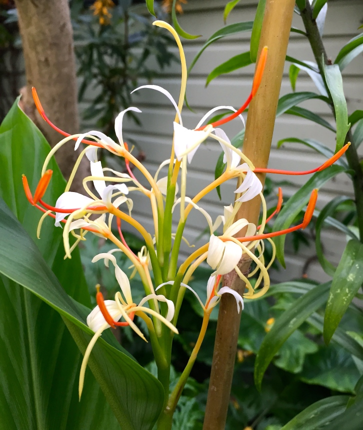 Hedychium yunnanense has powerfully scented flowers