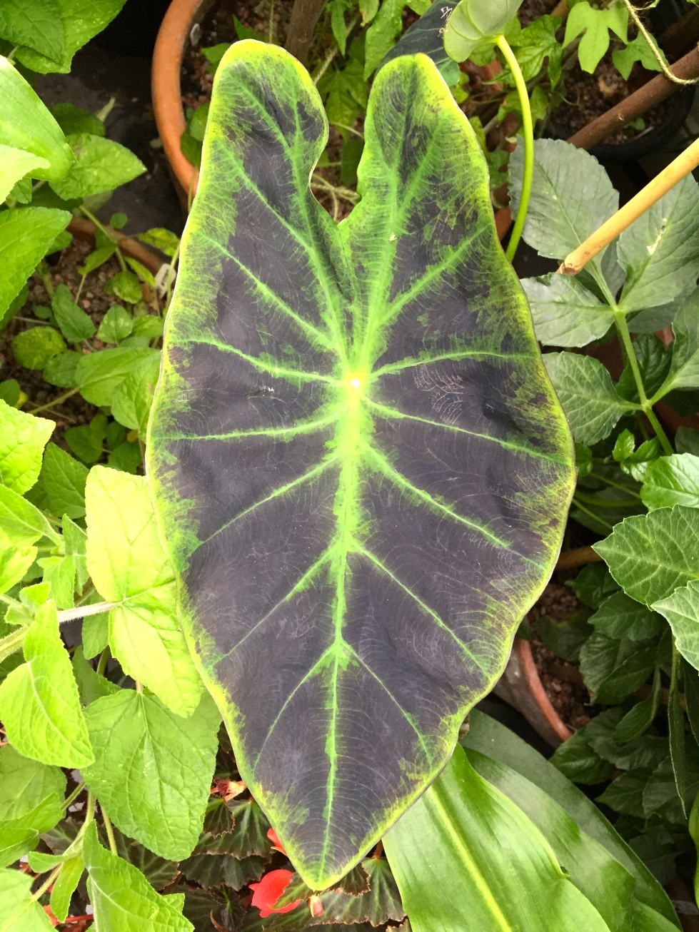 The leaves of Colocasia esculenta 'Illustris' can reach 3ft in length