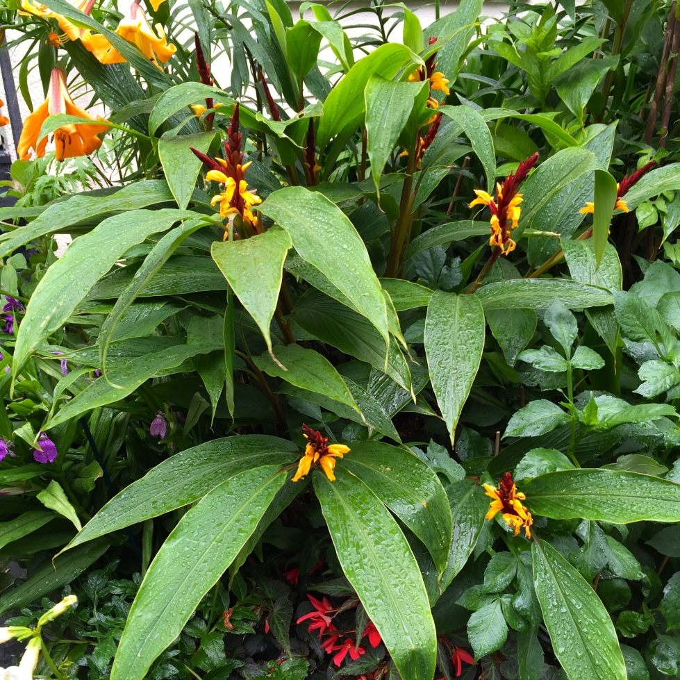 Cautleya spicata, one of the toughest tropicals I know