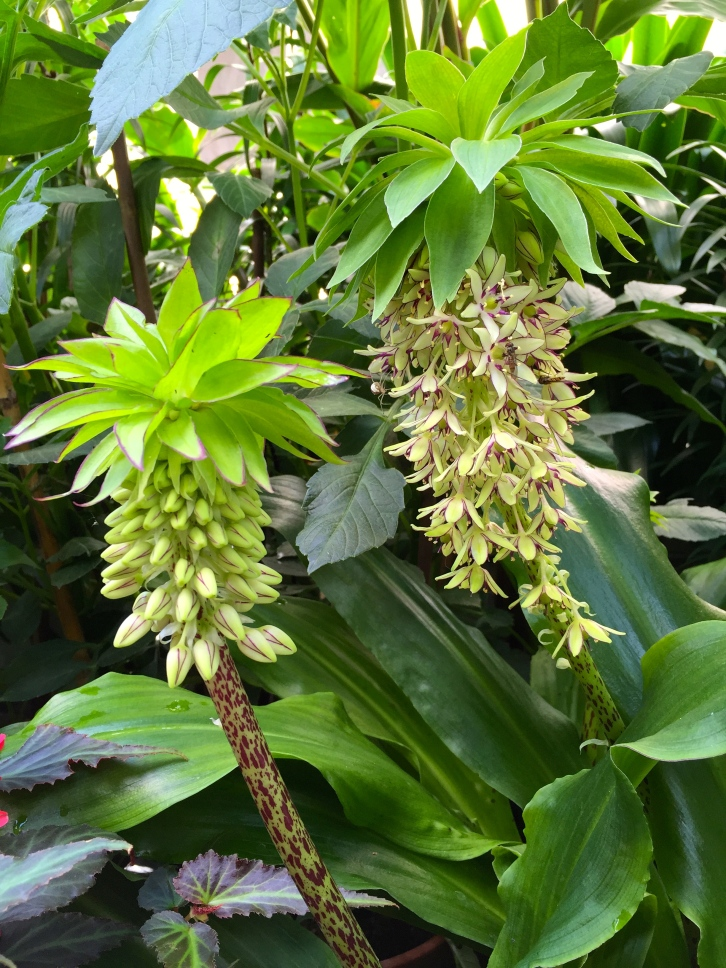 Eucomis bicolor, The Watch House garden, July 2015