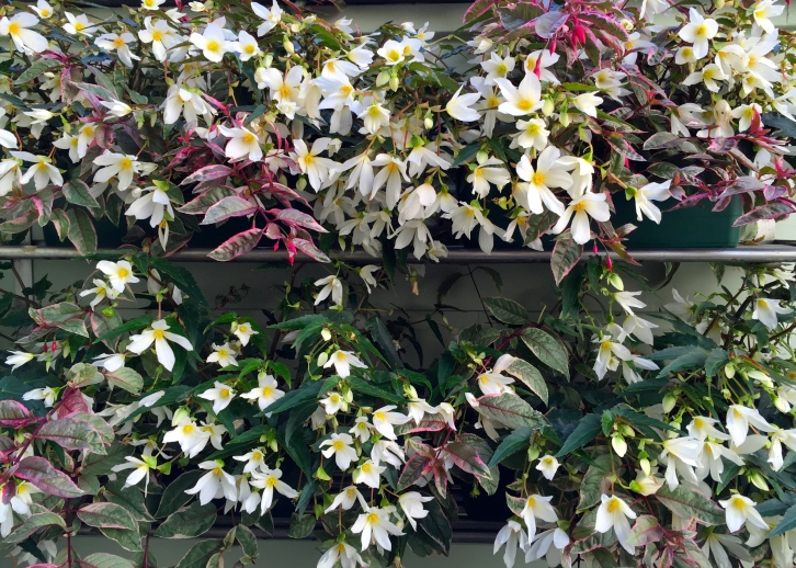 Begonias and Fuchsia 'Tom West', The Watch House garden, July 2015