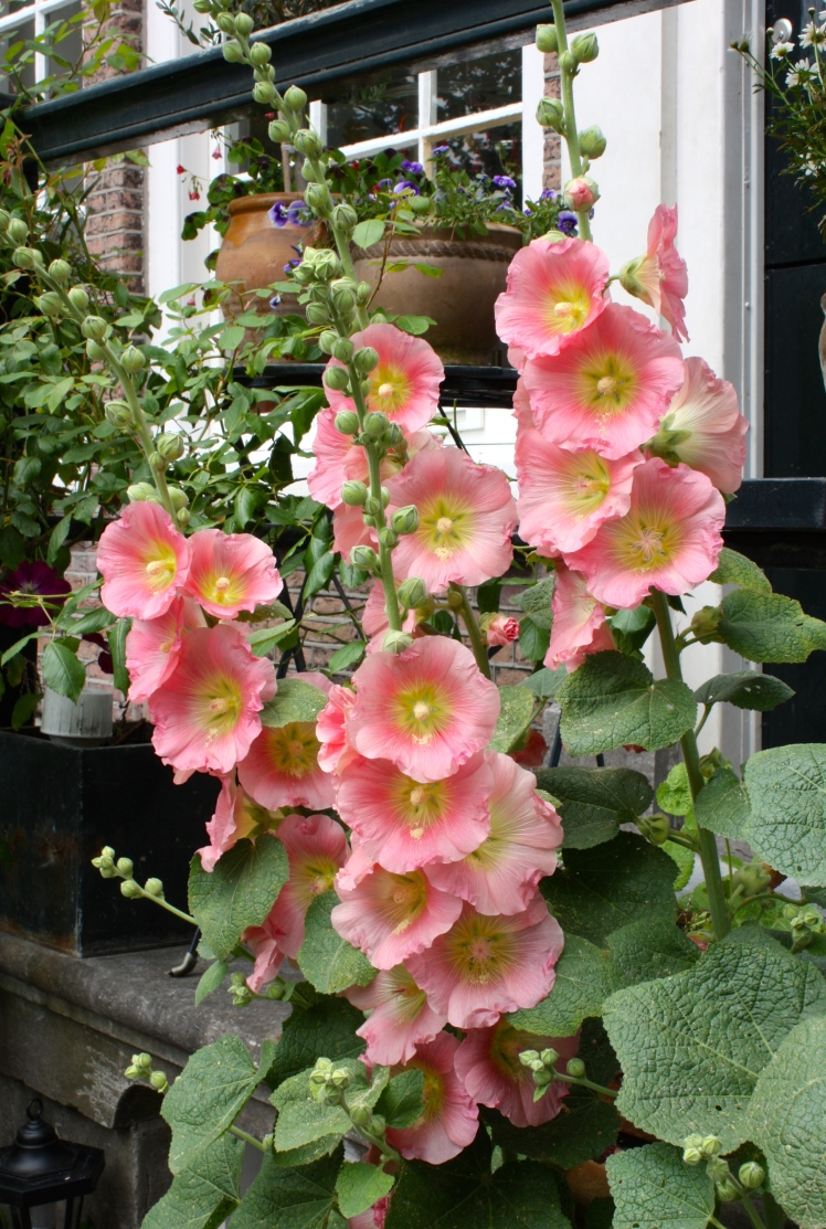 Apricot and yellow hollyhock, Amsterdam, June 2014