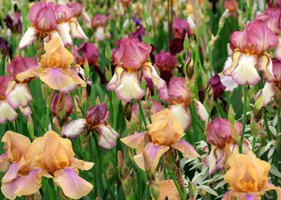 Unlike modern hybrids, Cedric Morris' seedlings display attractively 'off' colours such as butterscotch, puce, cream and burgundy