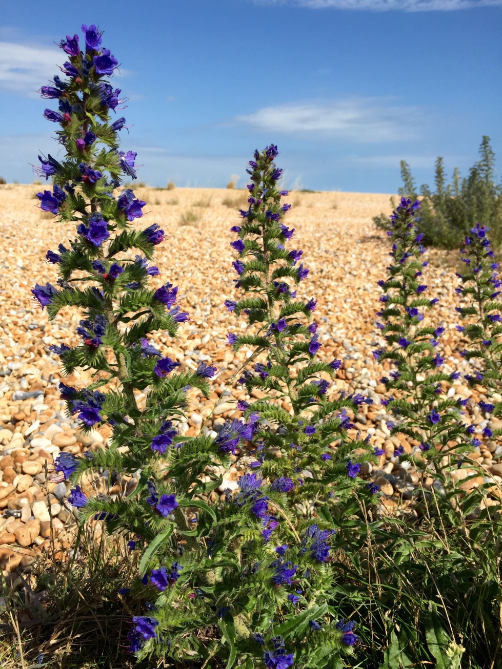 Viper's bugloss, Walmer beach, August 2015