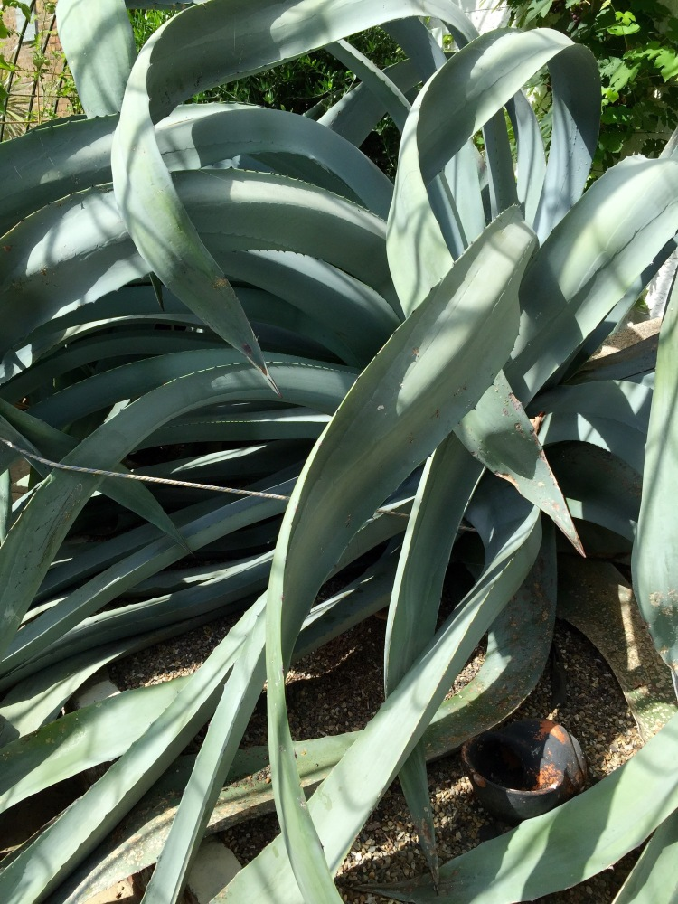 The leaves of the ancient agave have grown long and lush in the protection of the glasshouse