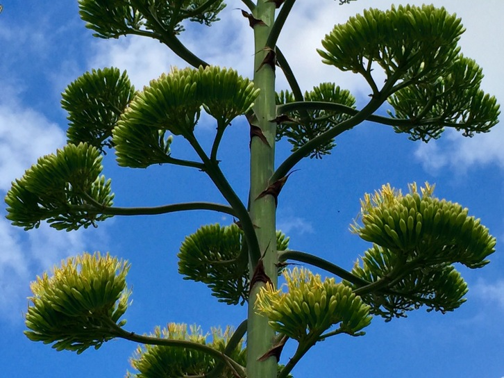 The agave's canary yellow flowers are beginning to bloom this month