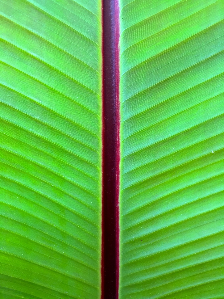 Banana leaf, Walmer Castle, August 2015