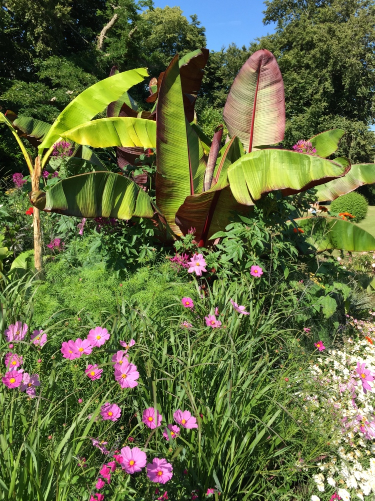 Bananas and cosmos, Walmer Castle, Kent, August 2015