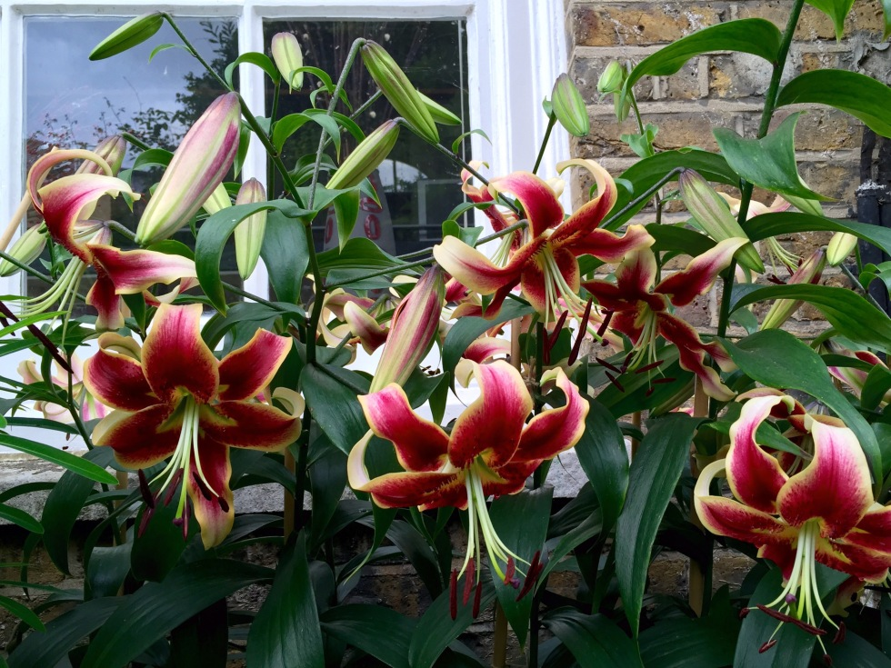 Lilium 'Scheherezade', London, August 2015