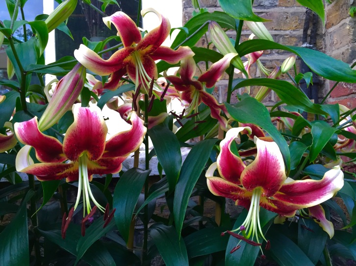 Lilium 'Sheherezade', London, August 2015