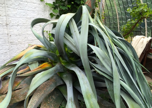 Agave americana, The Italianate Greenhouse, Ramsgate, August 2015