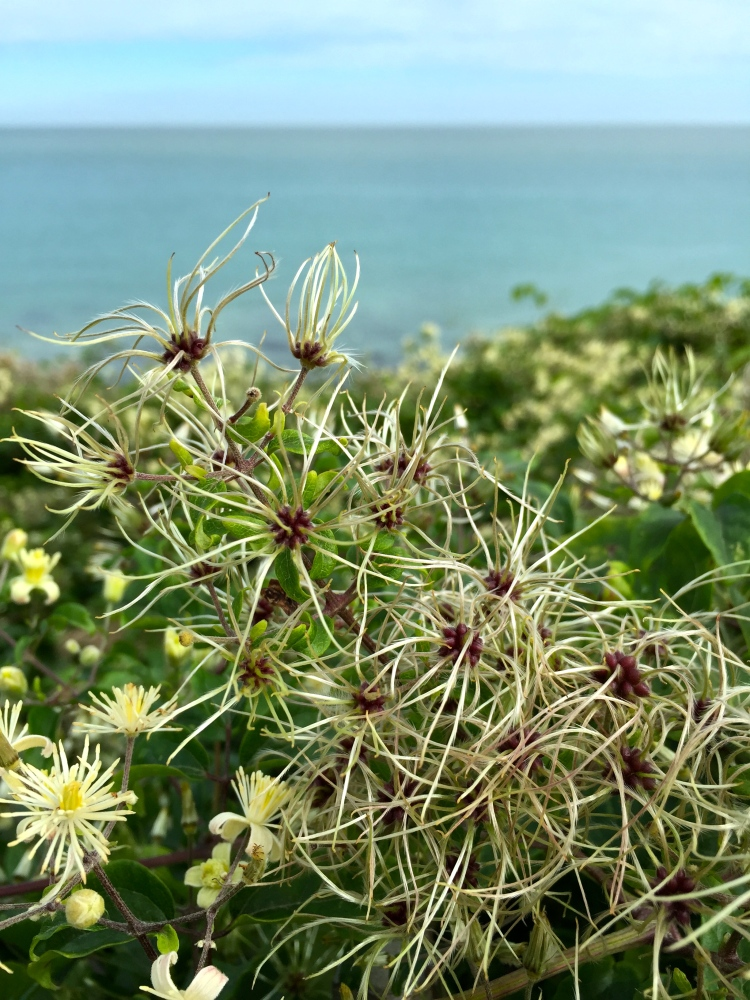 Clematis vitalba, Broadstairs, August 2015